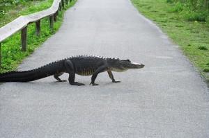 В американском штате Флорида аллигатор напал на 85-летнего прохожего.