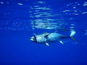 Тунец весом 278 килограммов был выловлен у северного побережья страны. Приобрёл рыбу знаменитый японский ресторатор и шеф-повар Киёси Кимура.