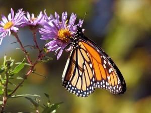 Зоологи США сообщили о почти 90-процентном вымирании бабочек-монархов