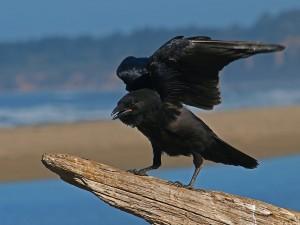 На первом этапе исследования птицам на выбор были предложены два предмета — тяжёлый и лёгкий.