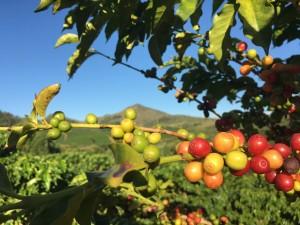 Учёные считают, что всему виной стала стремительная смена климата — из-за этого кофейные деревья начали сильнее болеть и быстрее умирать.