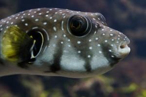 Китайские учёные воспроизвели вкус рыбы фугу.