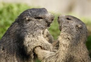Посетители мероприятия узнают прогноз на весну 2019 года от питомцев Самарского зоопарка - степных сурков Ивана и Евы.