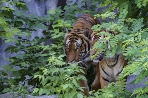 Сотрудники зоопарка поначалу держали пару в отдельных вольерах, расположенных рядом, и видели все признаки того, что животные понравятся друг другу. Но что-то пошло не так.