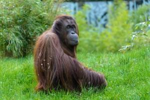 В Индонезии орангутан выжил после 74 пулевых ранений, пишут СМИ