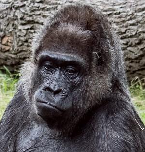 Трек посвящается горилле, которую застрелили в 2016 году.