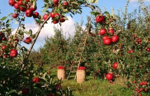 Россельхознадзор с 12 апреля ввел временные ограничения на поставки в РФ яблок и груш из Белоруссии.
