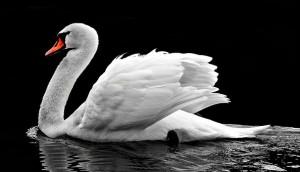 Искупавшегося в нефти белого лебедя спасли в Самаре