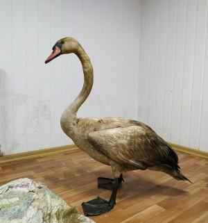Искупавшийся в нефти лебедь в Самаре почти не ест К нему подсадят гусей или уток.