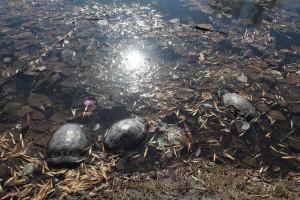 На самарском озере рядом с парком «Победы» вымерли вся рыба и черепахи