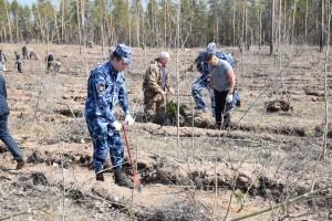 Посадка деревьев-саженцев сосны прошла в Ставропольском лесничестве