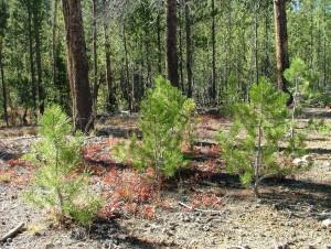 Будет высажено более 50 тысяч сеянцев дуба, березы и сосны.