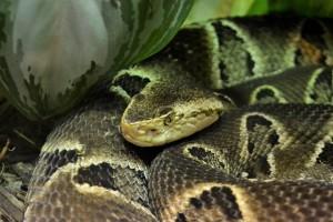Молодой человек во время представления в цирке шапито кладёт змею себе на плечи, а потом обвивает ей свою шею.