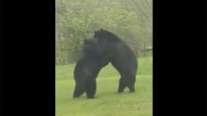 Во дворе жилого дома подрались медведи Стычка длилась около минуты, после чего хищники ушли.