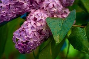 Обычно, если находят цветок с пятью лепестками, то загадывают желание и съедают пятицветик. Но этот способ неверный.