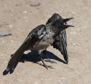 В Самарской области вороны нападают на людей