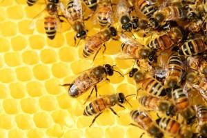 В Центральном и Приволжском федеральном округах массово гибнут пчелы