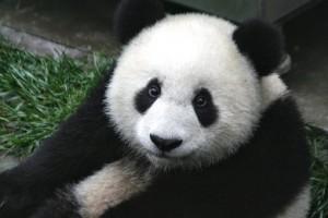 Московский зоопарк с 1 июля запустит трансляцию из вольеров больших панд