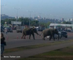 Дружная парочка: в Самаре двое слонов устроили променад по парковке на Южном шоссе
