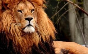 Львицы с интересом наблюдали за происходящим на территории, лёжа на камнях в вольере.