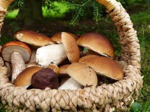 Ведомство рекомендует собирать в плетенные корзины хорошо знакомые виды грибов вдали от автодорог и населенных мест — в «экологически чистых» районах.