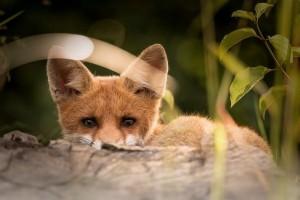 На турбазах под Сызранью лисы воруют у людей тапки