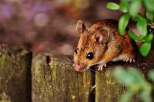 Жителей Самарской области предупредили о новой вспышке мышиной лихорадки