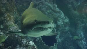 Отмечается, что акулы данного вида растут по сантиметру в год. Длина обнаруженной особи составляет 5,4 метра.