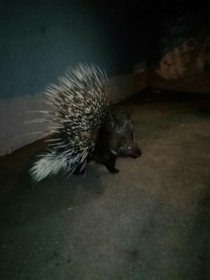 На Кряжу в Самаре ночью гулял дикобраз Горожане смогли сфотографировать животное.