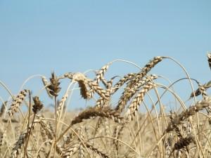 Аграрии Самарской области собрали миллион тонн зерна