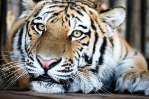 Самарский зоопарк отметит Международный день тигра