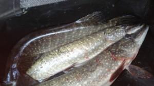 В Сызрани рыбака шокировали сонные щуки в пиявках