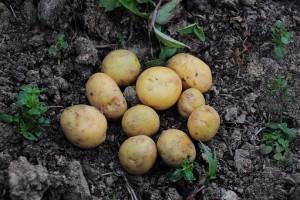 Здоровому человеку корнеплоды будут полезны в любом виде, однако больным людям лучше посоветоваться с врачом.