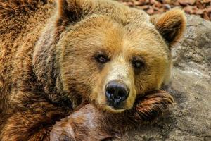 Медведи, которых спасли под Самарой, могут погибнуть в Крыму