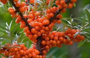 Для создания консерванта бийские ученые утилизировали облепиховый шрот, остающийся после выжимки сока и мякоти из этой ягоды.