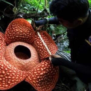 Ученые нашли самый большой цветок-монстр