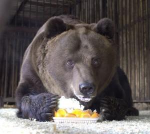 В самарском зоопарке отметят рожденья медведя Умки