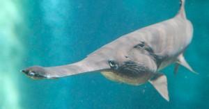 Вымерла одна из крупнейших пресноводных рыб