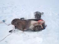 В Самарской области браконьер застрелил лося Полицейские установили личность подозреваемого в незаконной охоте.