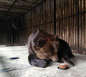 16 января в Самарском зоопарке отпраздновали день рождения бурого медведя Умки.
