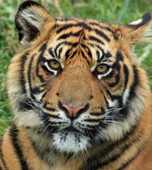 В Индии врачи попытались установить протез тигру Операция завершилась неудачей.