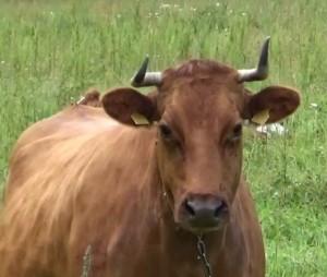В Самарской области построят крупную молочную ферму за 12 млрд рублей