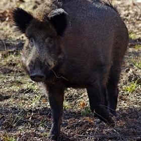 Принимаются все необходимые меры по установлению карантинных мероприятий на всей территории Кошкинского охотохозяйства.