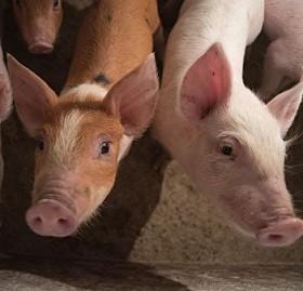 Было ликвидировано в общей сложности 231 голова домашних свиней.
