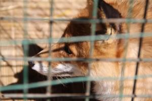 В Похвистневском районе ввели карантин по бешенству животных Ограничения коснулись Сосновского месторождения