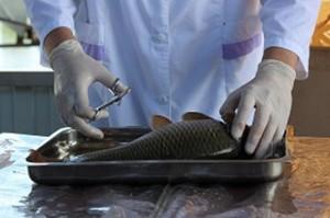 В торговые точки региона поступала рыбная продукция сомнительного качества Выявленная продукция по предписанию инспектора Россельхознадзора была отправлена на утилизацию.