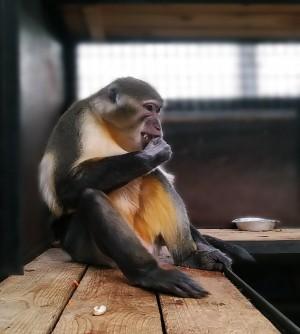 В Самарском зоопарке появился золотистый мангабей