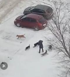 Сезон охоты собак на жителей Тольятти: новый эпизод