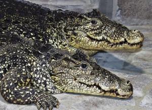Редкие и прихотливые кубинские крокодилы уже осваиваются в новом доме: для них в самарском океанариуме создали все необходимые условия.
