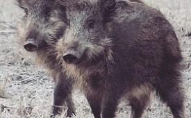 Новый очаг африканской чумы свиней обнаружен на территории Самарской области